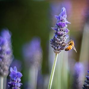 Bienen an Lavendel